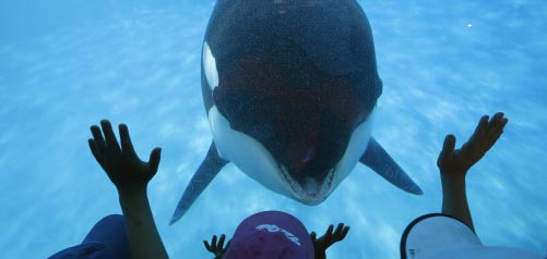 AUGUST 14, 2014. SAN DIEGO, CA.     Prompted by a trainer, Sea World San Diego visitors get a closeu